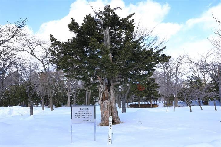 札幌護国神社の一位の松