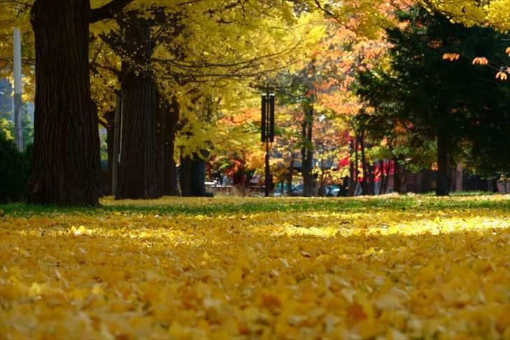 中島公園 銀杏の絨毯