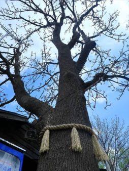 札幌諏訪神社 御神木
