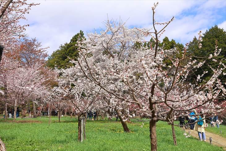 北海道神宮の桜と梅林