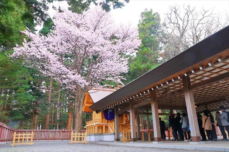 北海道神宮 開拓神社の桜